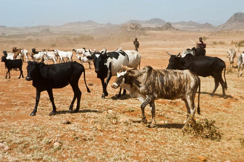 Animals grazing in the Karamoja's semi-arid plains